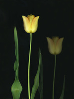 Reflected Yellow Tulip